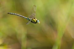 Południowa błękitna domokrążca samiec Fotografia Royalty Free