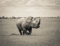 Południowa Biała nosorożec Fotografia Stock