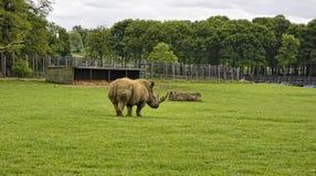 Południowa Biała nosorożec Fotografia Royalty Free