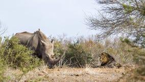 Południowa biała nosorożec i afrykanina lew w Kruger obywatela pa Obrazy Stock