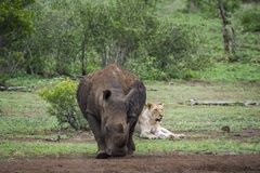 Południowa biała nosorożec i afrykanina lew w Kruger obywatela pa Fotografia Stock
