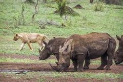 Południowa biała nosorożec i afrykanina lew w Kruger obywatela pa Zdjęcia Stock