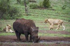 Południowa biała nosorożec i afrykanina lew w Kruger obywatela pa Zdjęcie Stock