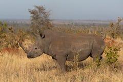 Południowa biała nosorożec stoi w Afrykańskiej sawannie obrazy stock