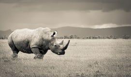 Południowa biała nosorożec w ekspansywnym ol pejeta conservancy Obrazy Stock