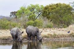 Południowa biała nosorożec w Kruger parku narodowym Obrazy Royalty Free