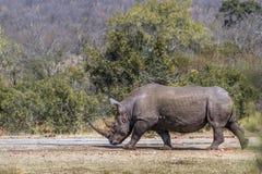 Południowa biała nosorożec w Kruger parku narodowym, Południowa Afryka obraz stock