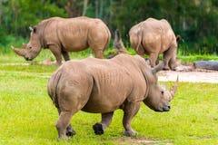 Południowa biała nosorożec, zagrażający Afrykańscy rodzimi zwierzęta fotografia royalty free