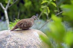 Południowa czajka lub Turtledove mała Brazylijska dzika gołąbka Zdjęcia Stock