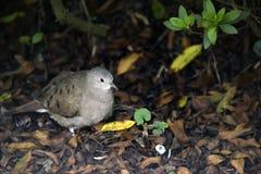 Południowa czajka lub Turtledove mała Brazylijska dzika gołąbka Obraz Royalty Free