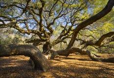Południowa Karolina Lowcountry anioła Dębowego drzewa Charleston SC natura Sceniczna zdjęcie stock