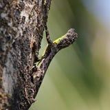 Południowa latająca jaszczurka (Draco dussumieri) Zdjęcia Stock