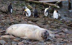 Południowa słoń foka i królewiątko pingwiny w Południowym Gruzja Antarctica zdjęcie stock