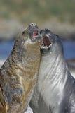 Południowa słoń foka, Mirounga leonina, Obrazy Stock