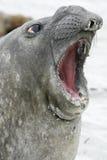 Południowa słoń foka, Mirounga leonina, Fotografia Royalty Free