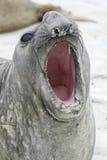 Południowa słoń foka, Mirounga leonina, Zdjęcie Stock