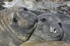Południowa słoń foka, Mirounga leonina, Zdjęcie Royalty Free