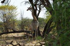 Południowa Siatkująca żyrafa Zdjęcie Royalty Free
