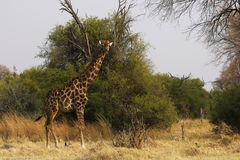 Południowa Siatkująca żyrafa Obrazy Stock