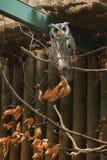 Południowa stawiająca czoło sowa (Ptilopsis granti) Zdjęcie Stock