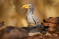 Południowa Wystawiająca rachunek dzioborożec, Tockus leucomelas, ptak z dużym rachunkiem w natury siedlisku z wieczór słońcem, si zdjęcia royalty free