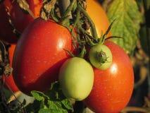 Południowa zielona smród pluskwa Nezara Viridula, Linnaeus na pomidorowej roślinie w ogródzie, - włochy Toskanii Zdjęcia Stock