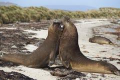 Południowe słoń foki & x28; Mirounga leonina& x29; walczyć Obraz Royalty Free