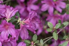 Południowe wiosen azalie zdjęcie stock