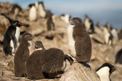 Południowego rockhopper pingwinu pisklęca pozycja na skale Zdjęcie Stock