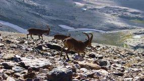 Południowo wschodni koziorożec - Sierra Nevada obrazy royalty free