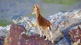 Południowo wschodni koziorożec - Sierra Nevada zdjęcia stock