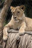 Południowo-zachodni Afrykański lew, Panthera Leo bleyenberghi, żyje w Południowa Afryka Zdjęcia Stock