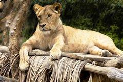 Południowo-zachodni Afrykański lew, Panthera Leo bleyenberghi, żyje w Południowa Afryka Obrazy Stock
