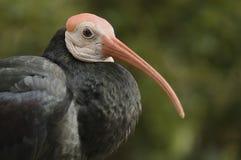 południowy łysy ibis obraz royalty free