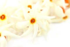 Południowy Azja Sheuli kwiat fotografia royalty free