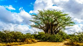 Południowy baobabu drzewo pod niebieskim niebem w wiosna czasie w Kruger parku narodowym częsciowo Obraz Stock