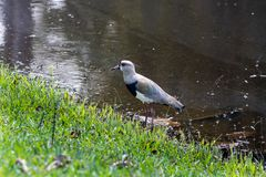 "Południowy czajki Vanellus chilensis na jeziorze w Barra da Tijuca lesie, Rio De Janeiro Brazylia ""Quero-Quero† fotografia royalty free"