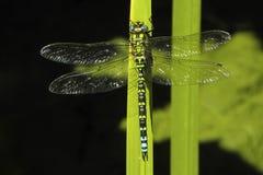 Południowy domokrążcy dragonfly, Aeschna cyanea zdjęcie royalty free