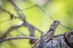 Południowy drzewny agama na gałąź Fotografia Royalty Free