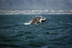 Południowy gładki wielorybi doskakiwanie z wody Fotografia Stock