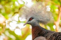 Południowy gołąb, Goura scheepmakeri, pojedynczy jeniec obrazy stock