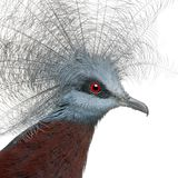 Południowy Koronowany gołąb, Goura scheepmakeri zdjęcia royalty free