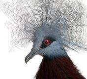 Południowy Koronowany gołąb, Goura scheepmakeri zdjęcie stock