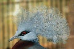 Południowy Koronowany gołąb (Goura scheepmakeri) fotografia royalty free