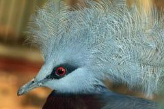 Południowy Koronowany gołąb (Goura scheepmakeri) obraz stock