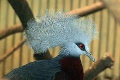 Południowy Koronowany gołąb (Goura scheepmakeri) zdjęcia royalty free