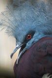 Południowy koronowany gołąb (Goura scheepmakeri sclateri) fotografia royalty free