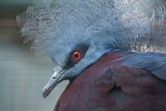 Południowy koronowany gołąb (Goura scheepmakeri sclateri) zdjęcia stock