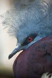 Południowy koronowany gołąb & x28; Goura scheepmakeri sclateri& x29; zdjęcie royalty free