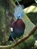 Południowy koronowany gołębi Goura scheepmakeri fotografia stock
